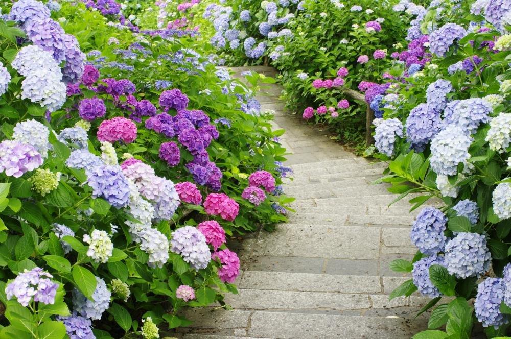 ogród z hortensjami