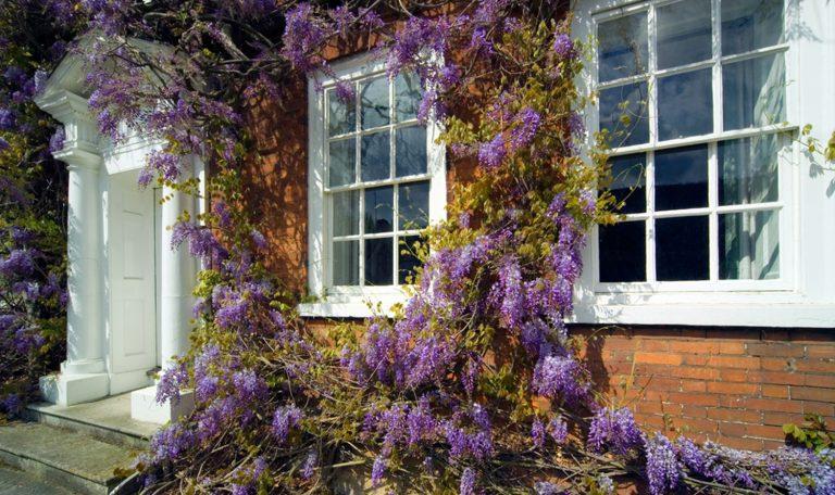 wisteria winorośl pnącze