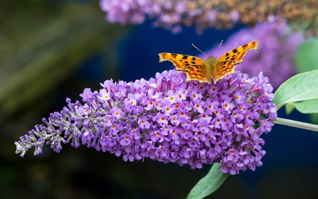 krzew motyli budleja