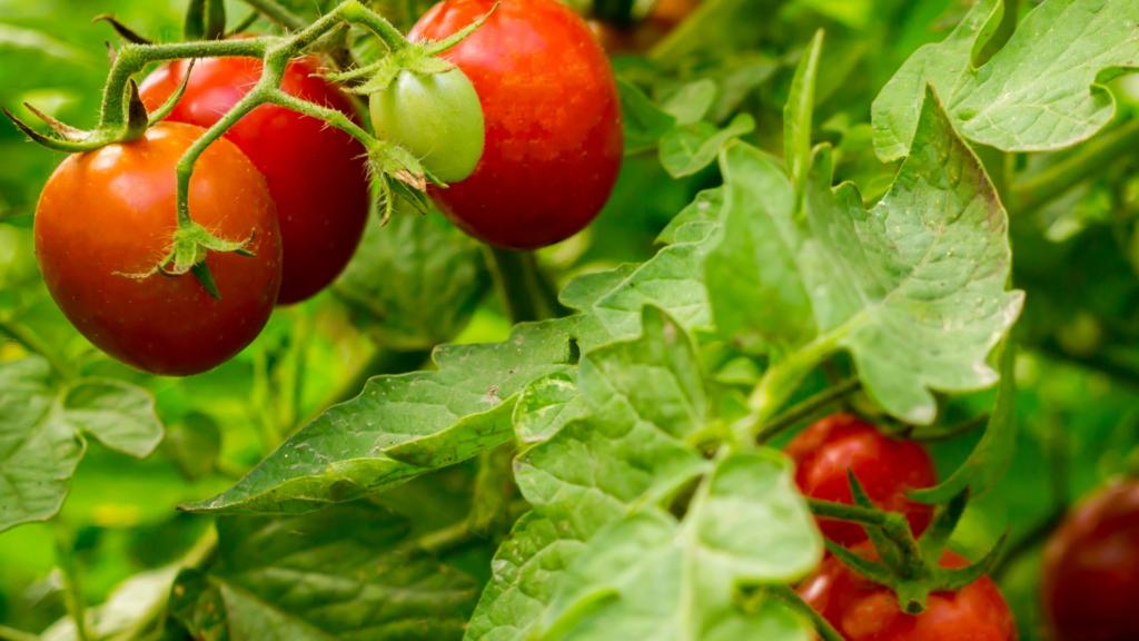 uprawa pomidorów