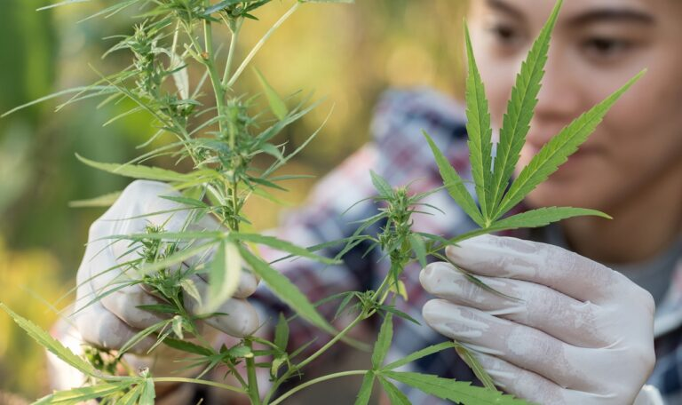 topy marihuany